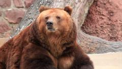 Breath vapor on icy air of amazing brown bear female Stock Footage