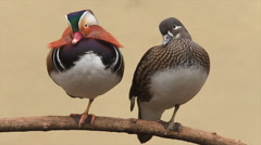 Perching couple of mandarin duck, male and female, Aix galericulata, Arkistovideo