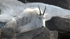 Rocky Mountain Goat 1 Full Stock Footage