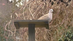 Collard Dove on a bird table takes flight Stock Footage