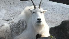 Rocky Mountain Goat 2 Medium Stock Footage