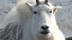 Rocky Mountain Goat 3 Close Up Stock Footage