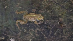 Frog in a Pond Stock Footage