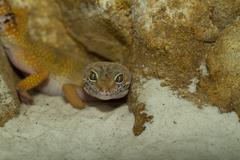 Smiling leopard gecko on desert Stock Photos