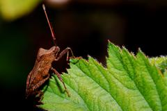 Brown bug sitting on a green leaf Stock Photos
