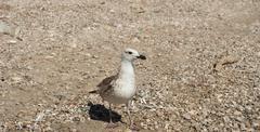 A seagull on stony beach Stock Photos