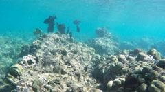 Hawaiian black triggerfish Stock Footage