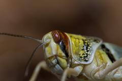 Close-up of a beautiful locust Stock Photos