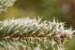 Rime, hoarfrost on a pine branch Stock Photos