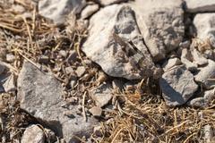 Brown locust close up - stock photo
