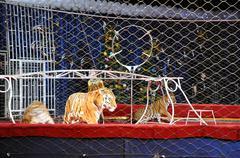 Tiger in the circus arena Stock Photos