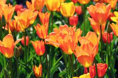 Orange tulips in flowerbed with back lit. Stock Photos