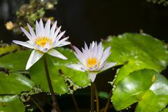 Stock Photo of Water Lilies in the botanical garden of Mahe, Seychelles