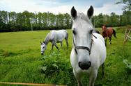 Stock Photo of Noble animal-horse grazing in a green meadow