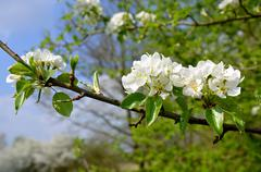General pear - Detail of white flowers in the spring  - stock photo