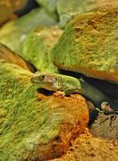 Lizard in the terrarium - stock photo