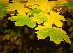 Autumn maple leaves Stock Photos