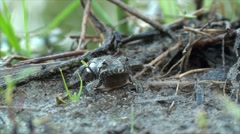 Northern Cricket Frog Calling Song Stock Footage