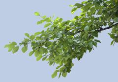 Branch of elm - stock photo