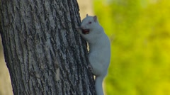 Albino Fox Squirrel with Acorn Nut in Mouth Stock Footage