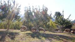 Sheep in  ray of  sun Stock Footage
