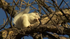 White Albino Squirrel Eating Acorn Nut in Fall - stock footage