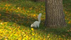 Stock Video Footage of White Albino Squirrel Running and Jumping in Park