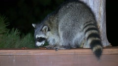 Raccoon in Urban Environment Feeding on Back Deck Stock Footage