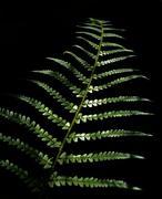 Leaves of bracken - stock photo