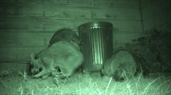 Nuisance Raccoons Feeding by Garbage Can Stock Footage