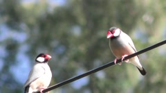 Java Sparrow Finch Bird in Hawaii Stock Footage