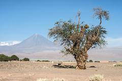 Old tree front of Volcano Licancabur, Atacama desert of Chile Stock Photos