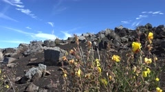 Yellow Flowers on Volcanic Hillside at Haleakala National Park - stock footage