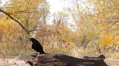 Talking clever bird crow Stock Footage