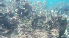 Convict tangs at hanauma bay hawaii Stock Footage