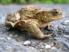 The common toad - amphibian  - stock photo