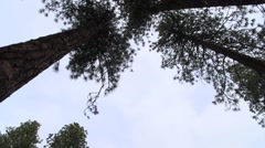 Tall Tree Pan - stock footage