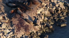 Sea Lion making his way up the rocks Stock Footage