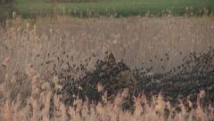 Stock Video Footage of Starling Swarm