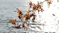 Backlight shot of autumn-colored rowan branch with berries at a windy shore with Stock Footage