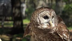 Barn Owl On Handeler's Glove - stock footage