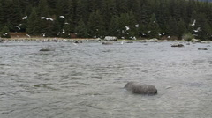 Seagulls Swarm Over the Chilkoot River in Alaska Stock Footage