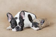 French bulldog mommy with puppy - stock photo
