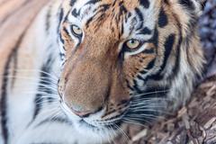 Tiger head close-up Kuvituskuvat