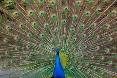 Peacock with multicolored feathers Stock Photos