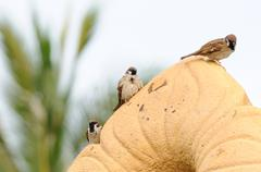 Sparrows hanging on brown rock - stock photo