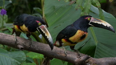 CU Two Collared Aracaris Consider Going Bananas Stock Footage