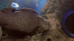 Symbiotic Relationship Between a Giant Grouper and Remora. Stock Footage
