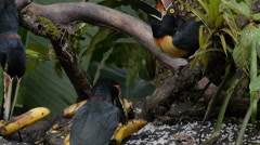 CU Four Collared Aracaris Feast on Bananas Stock Footage