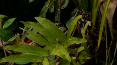 Collared Aracari Plays Peek-a-Boo as It Sneaks Toward Bananas Stock Footage